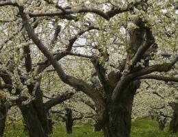 омолаживающая обрезка яблонь
